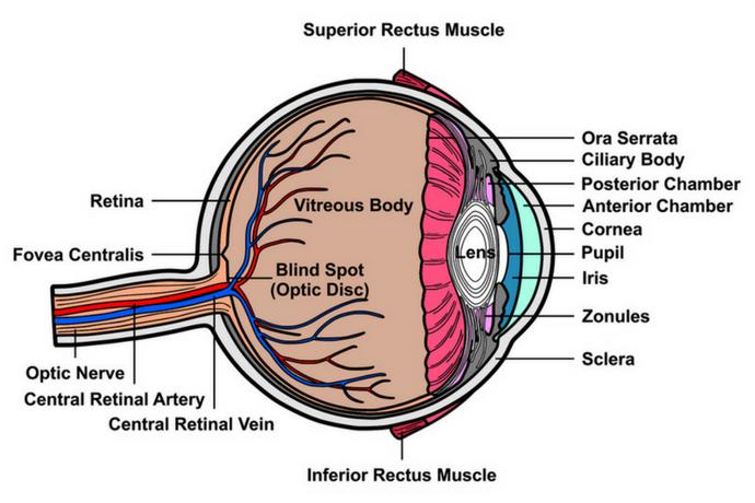 La cirugía de trasplante de córnea es la de más alta tasa de éxito